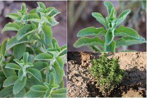 گیاه «استویا»