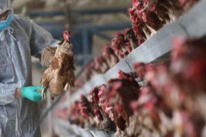 نگاه پیشگیرانه در مقابله با آنفلوانزای پرندگان