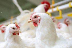 تلفات مرغ گوشتی در قم ۲.۵ درصد کاهش یافته است