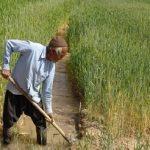 فعالیت ۱۴ هزار بهرهبردار در بخش کشاورزی قم
