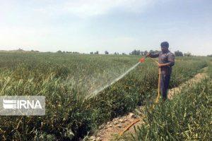عملیات مبارزه با آفات در ۲۰ هزار هکتار از مزارع قم اجرا شد