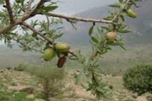 «بادام کوهی» سرمایه اقتصادی نهفته در مراتع قم