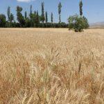 اراضی زراعی زیر کشت قم ۴۳ هزار هکتار است
