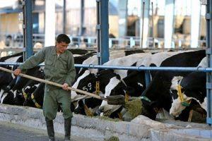 ۹۰ درصد شیر تولیدی دامداران قمی در سیستم خریدوفروش دلالان میچرخد