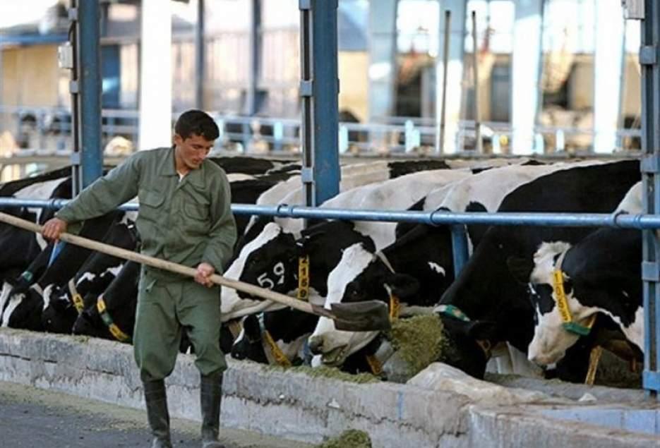 شهرکریمه – ۹۰ درصد شیر تولیدی دامداران قمی در سیستم خریدوفروش دلالان میچرخد